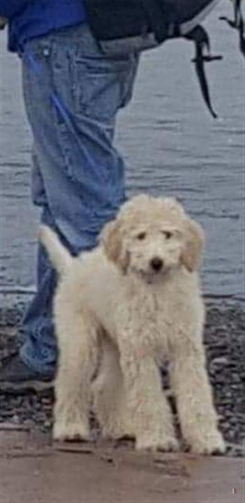 Lost Dog Carlos Labradoodle Male
