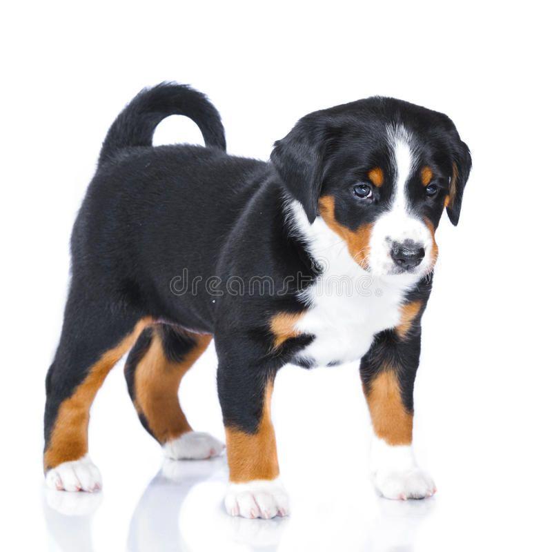 Appenzeller Sennenhund Sennenhund Hunde Appenzeller Sennenhund