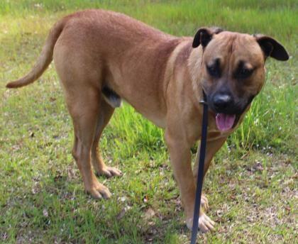 Adopt Herman on Boxer shepherd mix, Shepherd mix dog