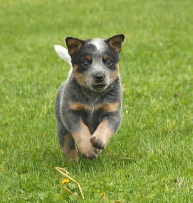 In An Ideal World I Would Have The Space Time And Energy To Have A Blue Heeler Blue Heeler Puppies Heeler Puppies Australian Cattle Dog