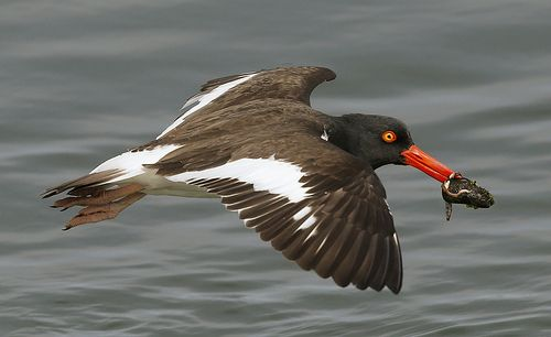 American Oystercatcher with mussel