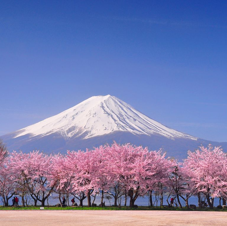12 Unusual Things You Didn T Know About Japanese Cherry Blossom Japanese Blossom Cherry Blossom Japan Cherry Blossom Wallpaper