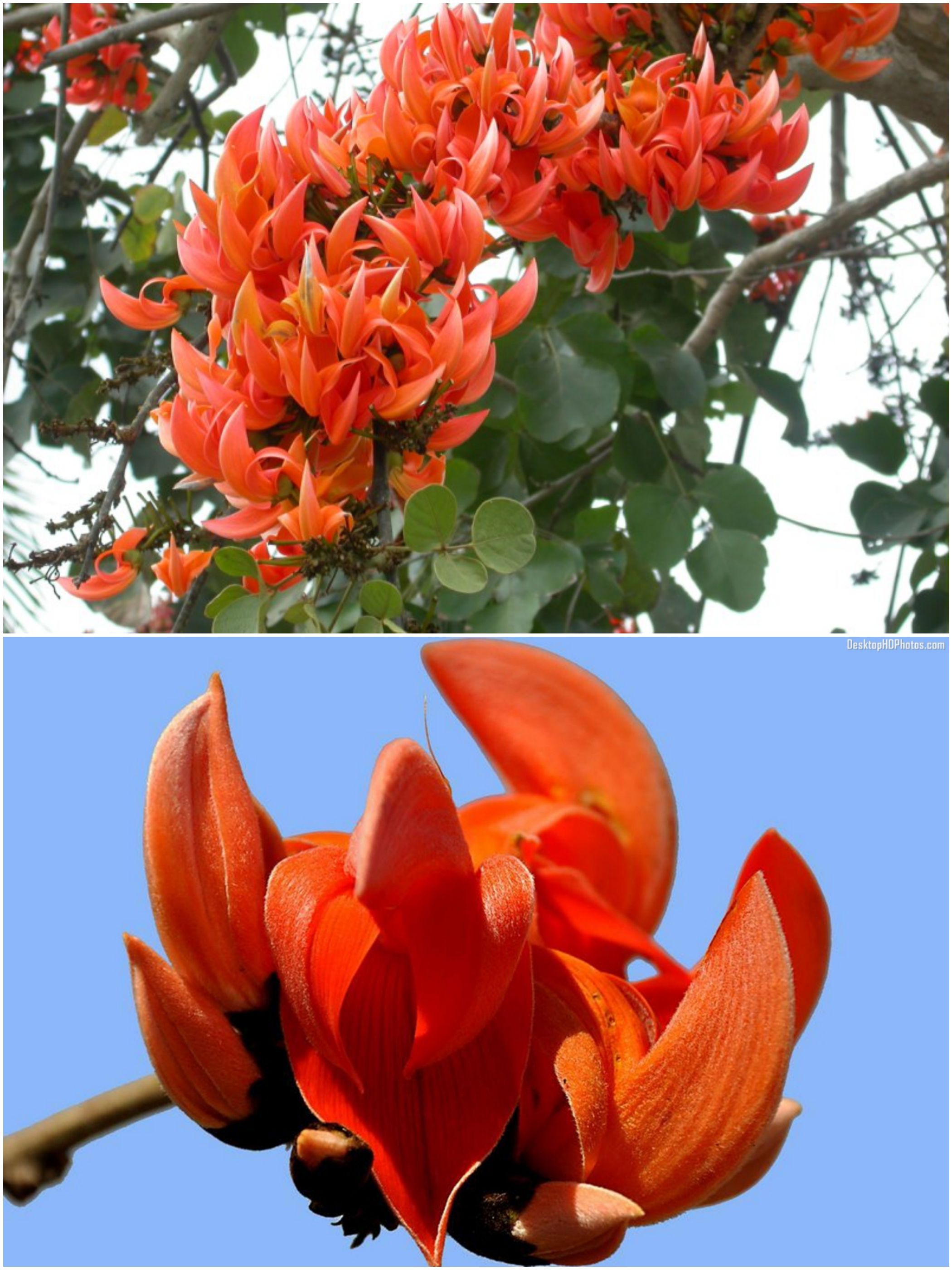 Polash Flower (পলাশ ফুল), Kingshuk ful (কিংশুক ফুল ... Palash Flower Wallpaper