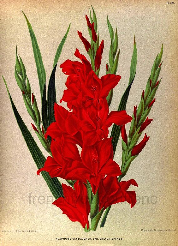Antique Victorian Botanical Print Red Gladiolus Illustration Etsy In 2020 Tropical Flowers Illustration Botanical Prints Flower Prints Art