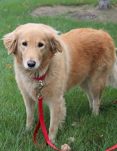 Bonnie A Golden Retriever For Adoption Through Golden Retriever