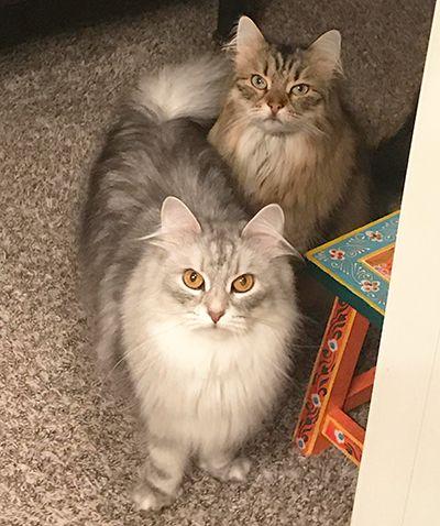 Testimonials For Munchranch Siberian Cats Siberian Cats For Sale