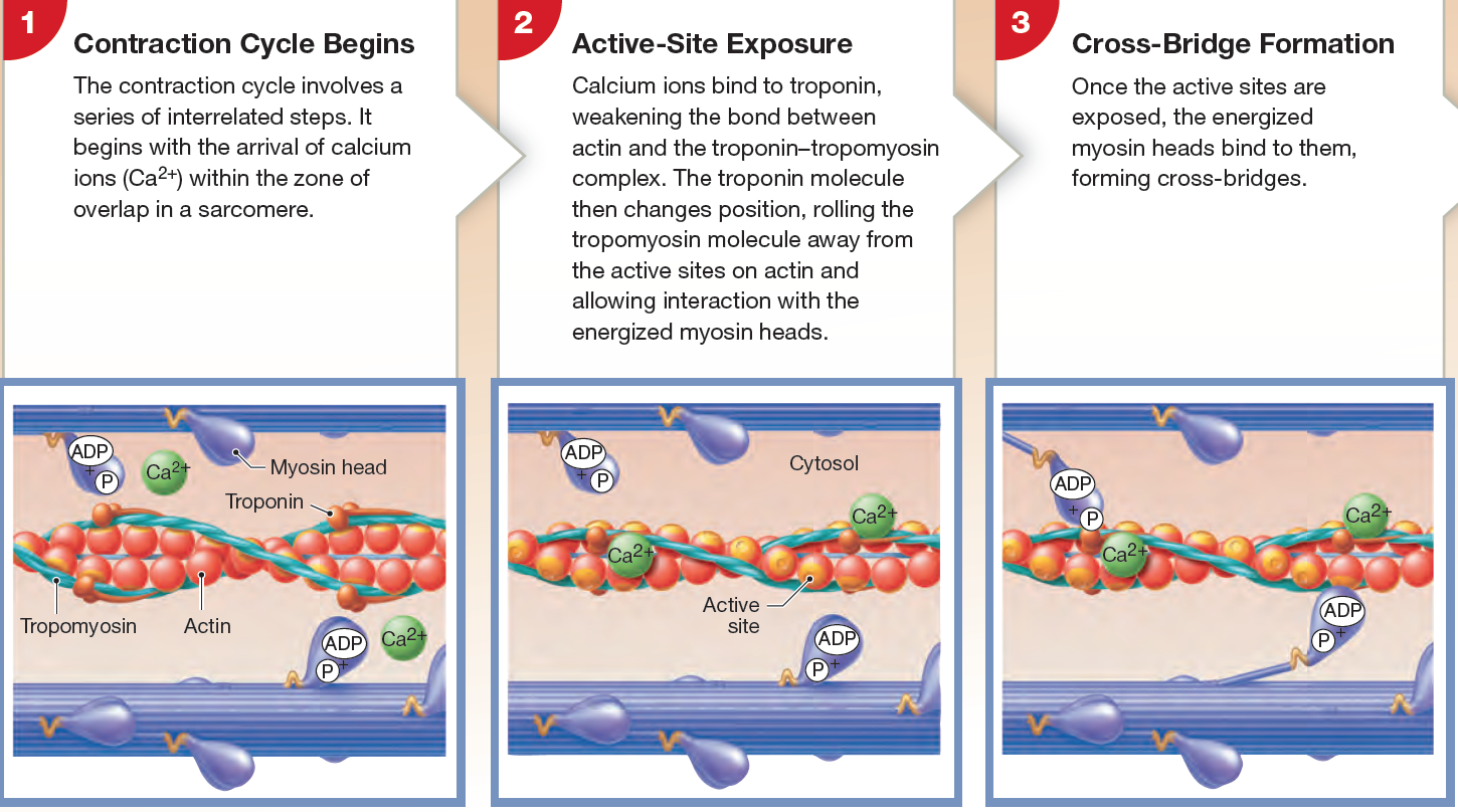 small resolution of calcium involvement in the contraction cycle and cross bridge formation