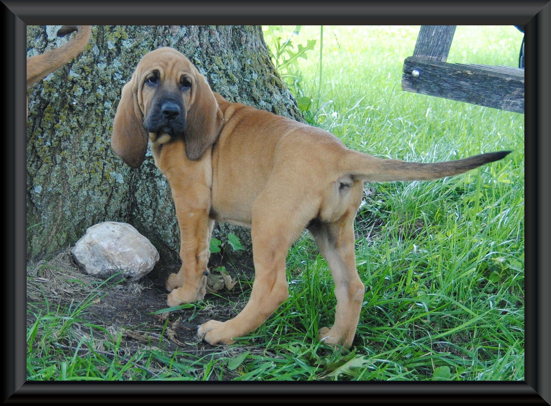 Bloodhound Rescue Available Dogs | bloodhound puppies for sale