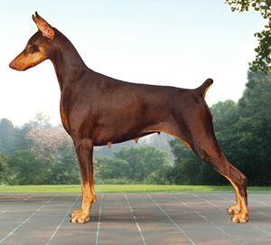 Doberman Pinscher Doberman Pinscher Dog Scary Dogs Doberman Dogs
