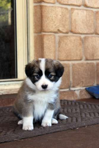 Purebred Border Collie Puppies Border Collie Puppies For Sale