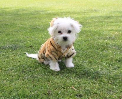 Harley in his Pawsie! #maltese #puppy #cute