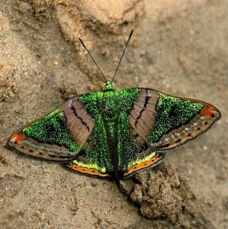 Butterflies Of Amazonia