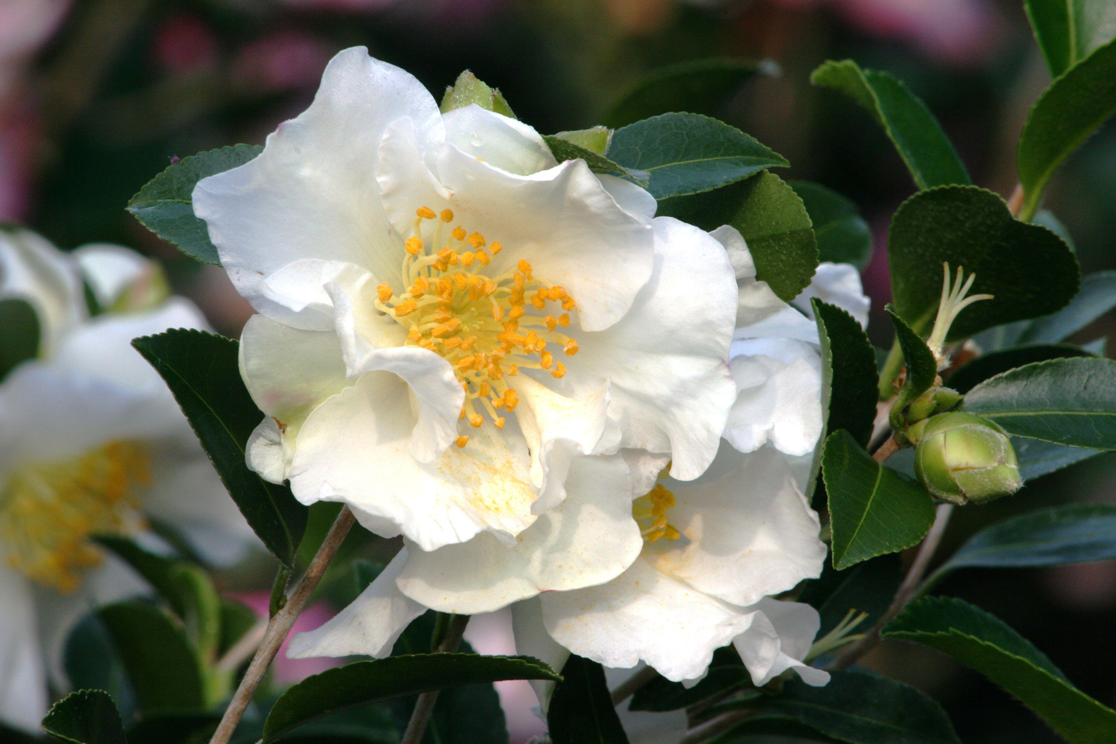 Setsugekka Camellia Monrovia Setsugekka Camellia Camellia Flower Plants Colorful Garden
