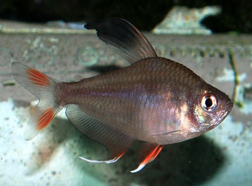 Pin On Photos Of Freshwater Tropical Fish