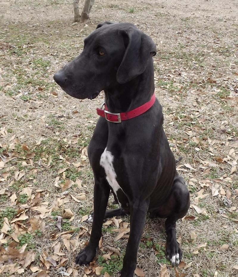 Adopt Claire on Great dane rescue, Great dane, Great