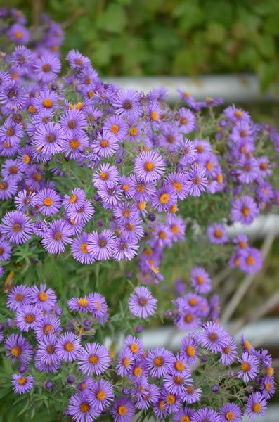 Symphyotrichum Novae Angliae New England Aster Flower Landscape Aster Flower Pollinator Garden