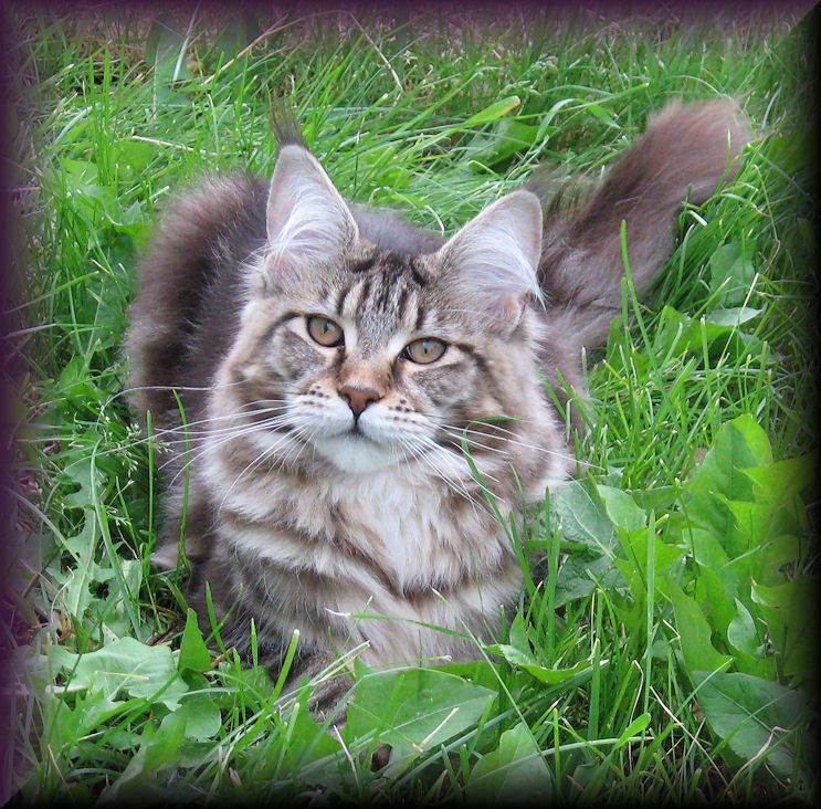 Pin Di Marvelous Maine Coons