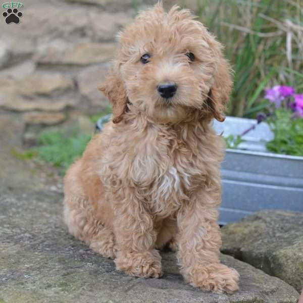 DieselF1B Labradoodle Puppy For Sale in Ohio