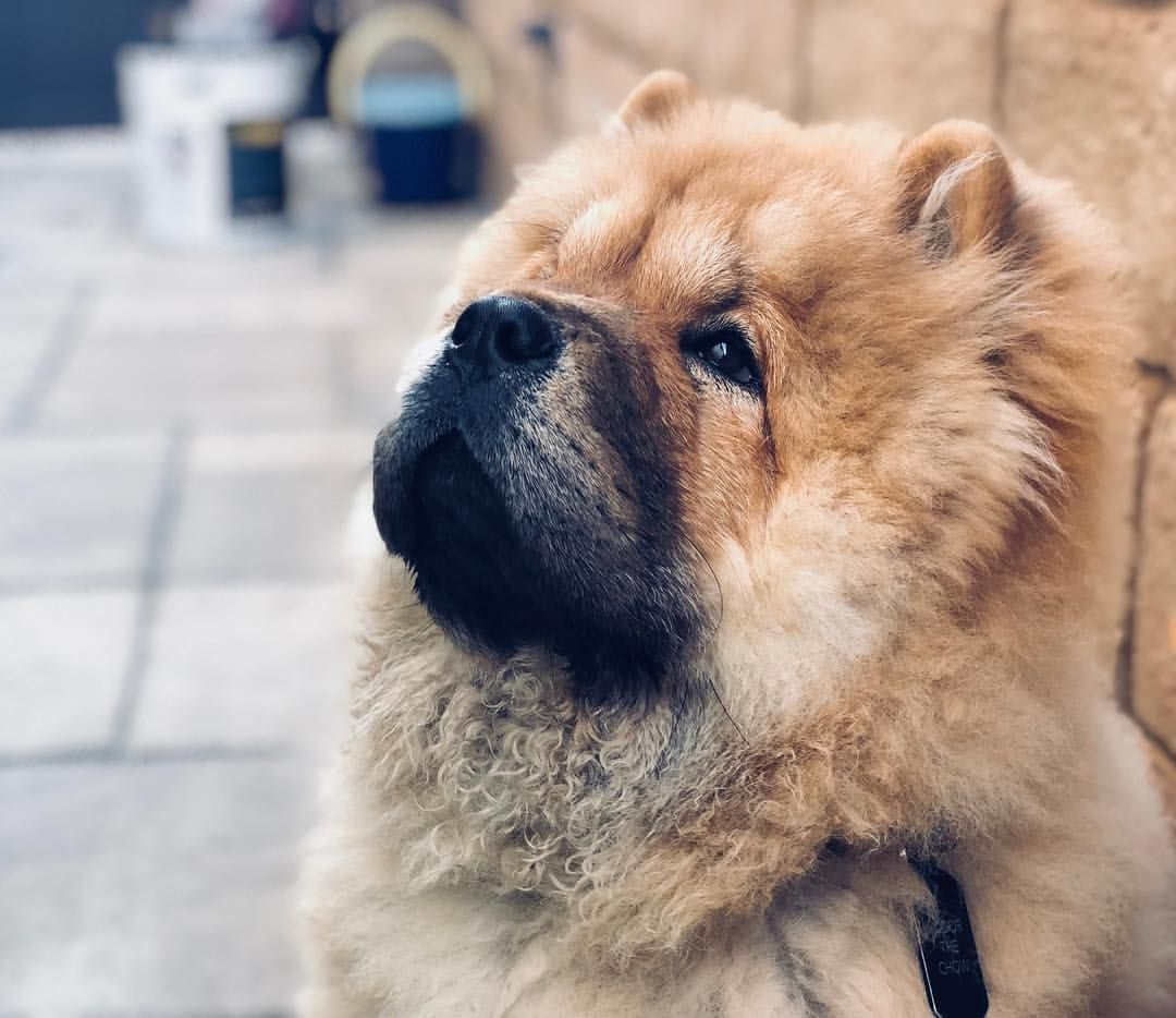 Chow Chow Chow Chows Chow Chow Chinese Dog Chow Chow Dogs