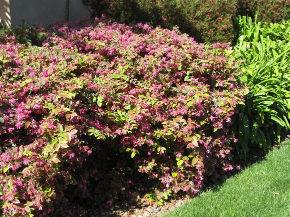Loropetalum Razzleberry 99 99 Don T Like Plants