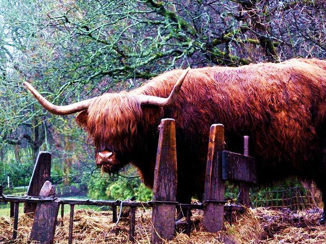 Highland Cow At Pollok Park Glasgow Highland Cattle Highland Cow Cattle