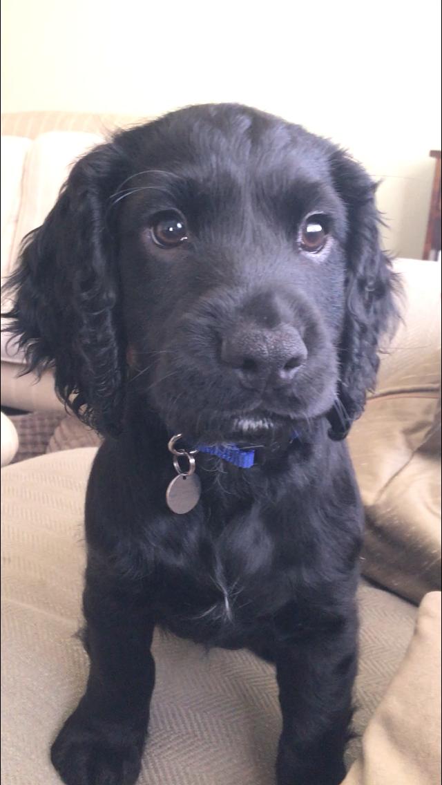 Black Cocker Spaniel Puppy Chien