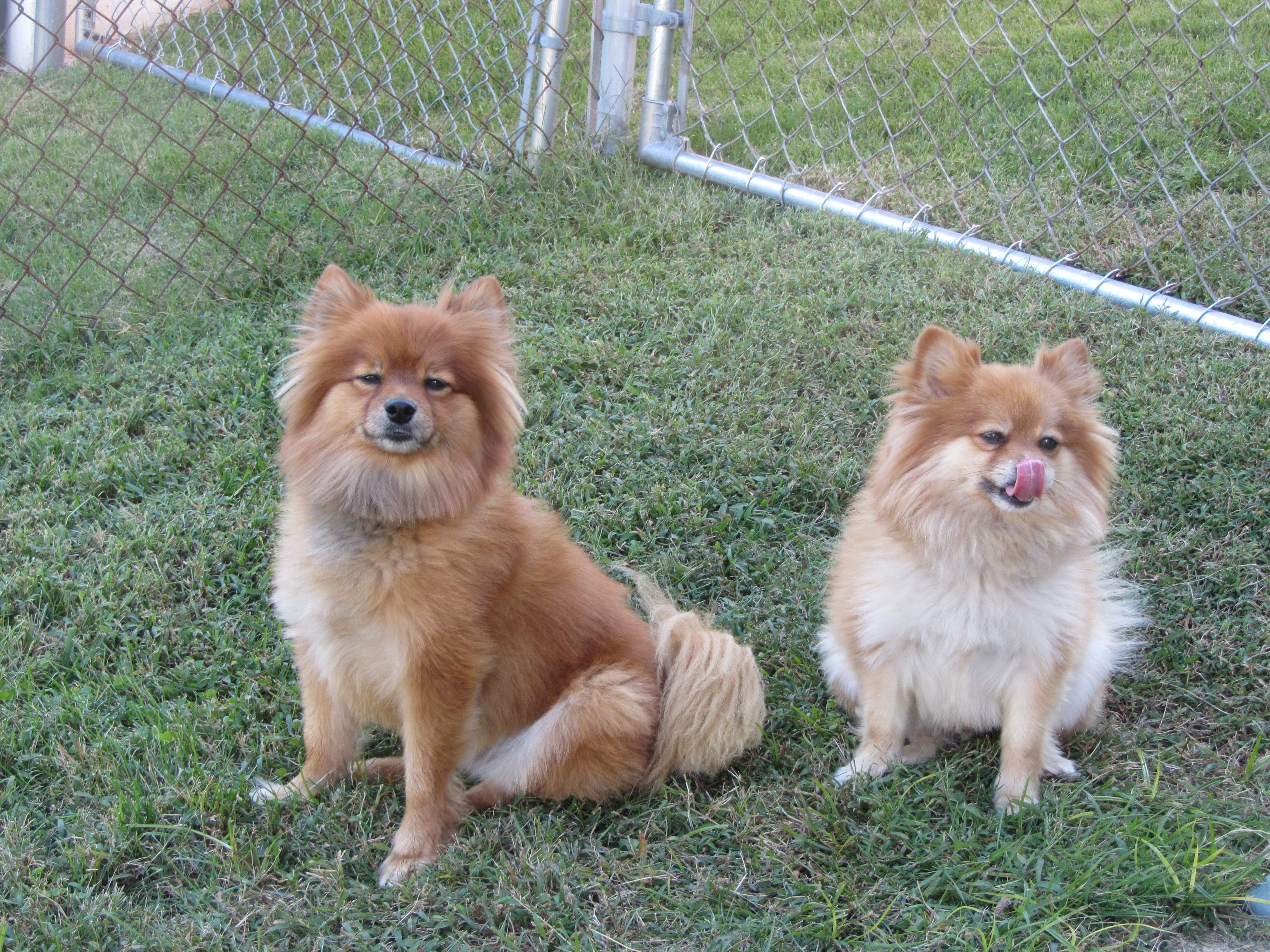 What Is A Throwback Pomeranian Puppies Pomeranian Puppy Dogs