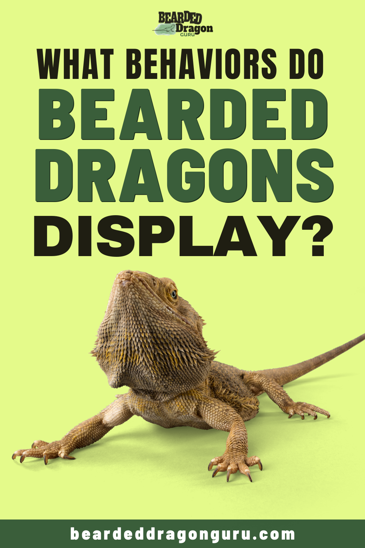 What Behaviors Do Bearded Dragons Display