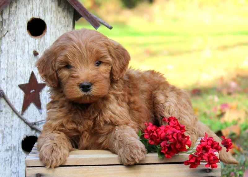 Lem doberman mix puppy for sale in pennsylvania