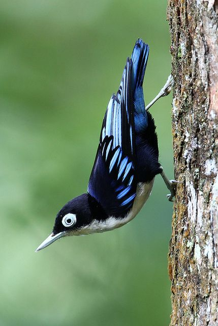 Blue nuthatch  (photo by kampang)
