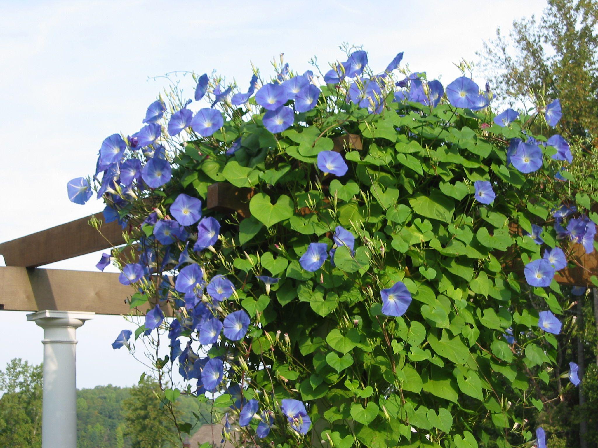 Morning Glory Pergola Flowering Vines Garden Vines Flowering Vine Plants