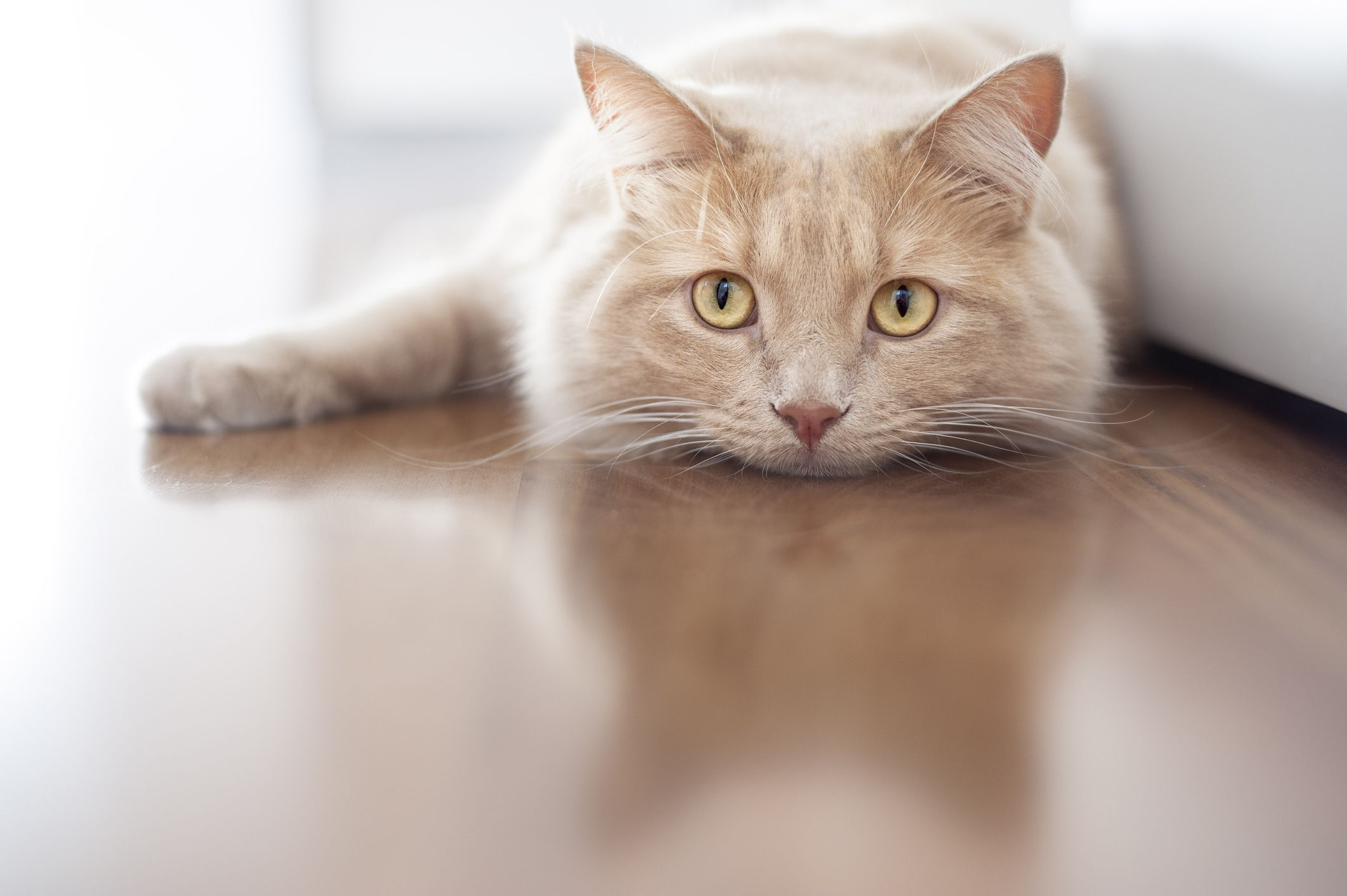 Spinal Cord Injuries In Cats Animals Cats Cat Lovers