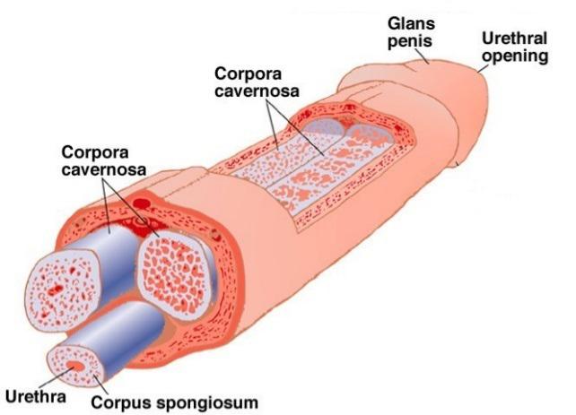 Penis pills vigrx enlargement