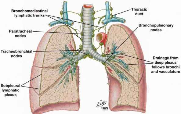 Fig 26 Pattern Of Lymphatic Drainage From The Lungs Bronchopulmonary Lymphatic Thoracic