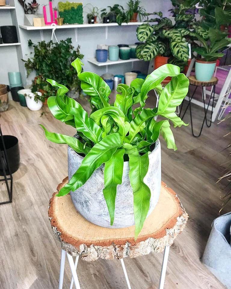 Asplenium Planting Succulents Indoors Houseplants Indoor Indoor Plants