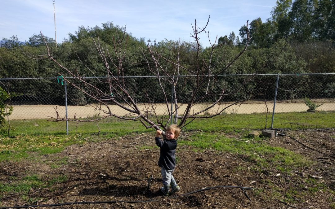 My Best Advice On Pruning Deciduous Fruit Trees Keep Them Small Prune Fruit Fruit Trees Fruit Bushes