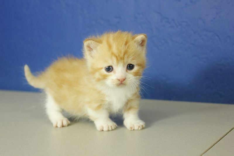 Garfield Orange Mitted Tabby Munchkin Cat Kitten From Www