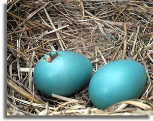 Southeastern Outdoors American Robin Robins Egg Blue Blue Inspiration Robins Egg