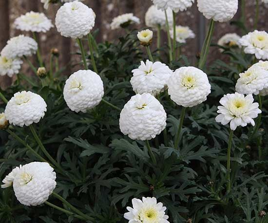 Amazing new annuals for 2016 flowers i like pinterest stay white fluffy flowers look like miniature chrysanthemums sitting on top of fern leaf foliage in this brand new argyranthemum from japanese breeding mightylinksfo