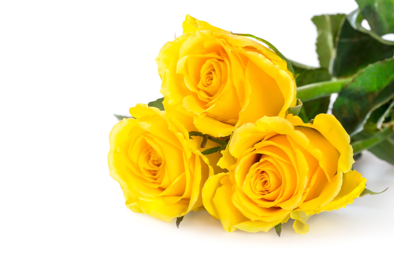 gelbe rosen schenken mit jetzt rosen bestellen und rosen versenden gelbe. Black Bedroom Furniture Sets. Home Design Ideas