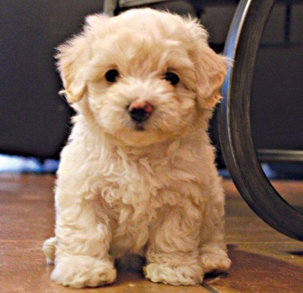 Mini Maltipoo By Ana Maltipoo Puppy Cute Animals Puppies