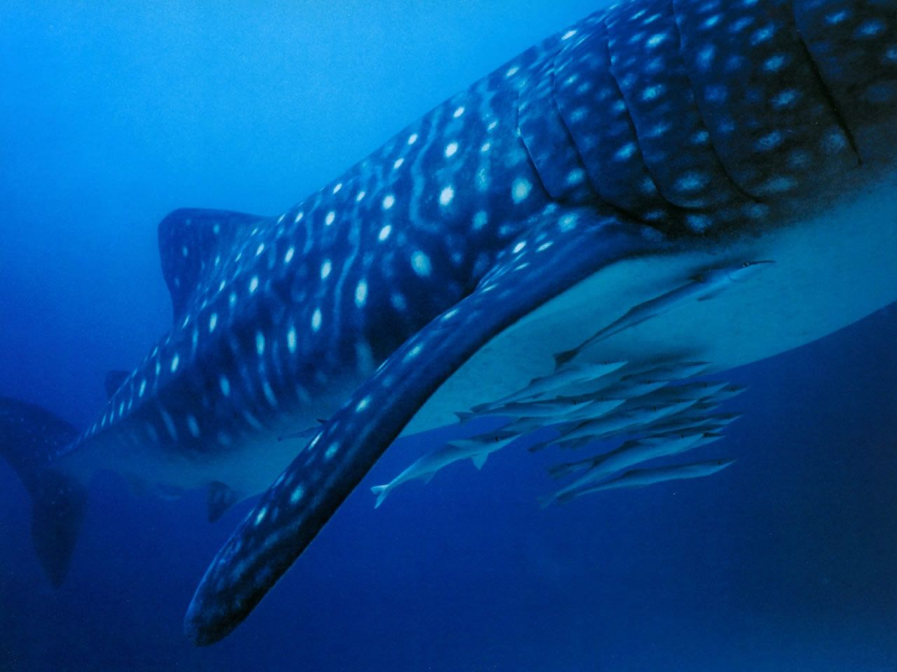 remoras-with-whale-shark-ningaloo-reef-australia