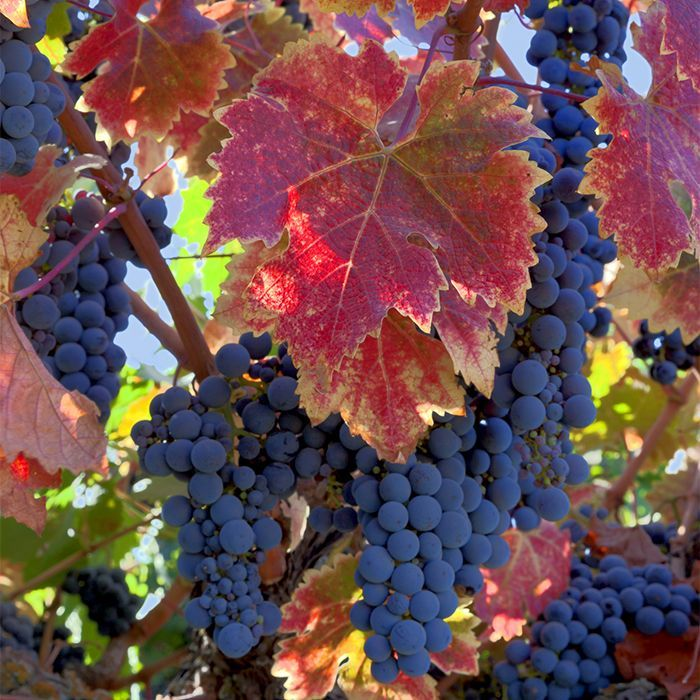 10 Reasons You Should Be Growing Grapes In Your Backyard