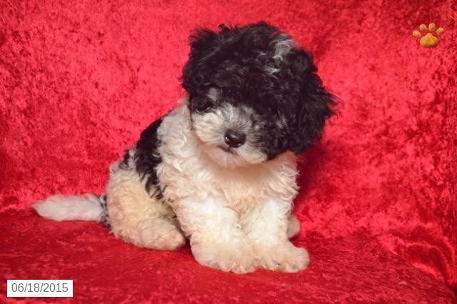 Bichapoo Puppy For Sale In Ohio Puppies For Sale Puppies Golden Retriever Puppy