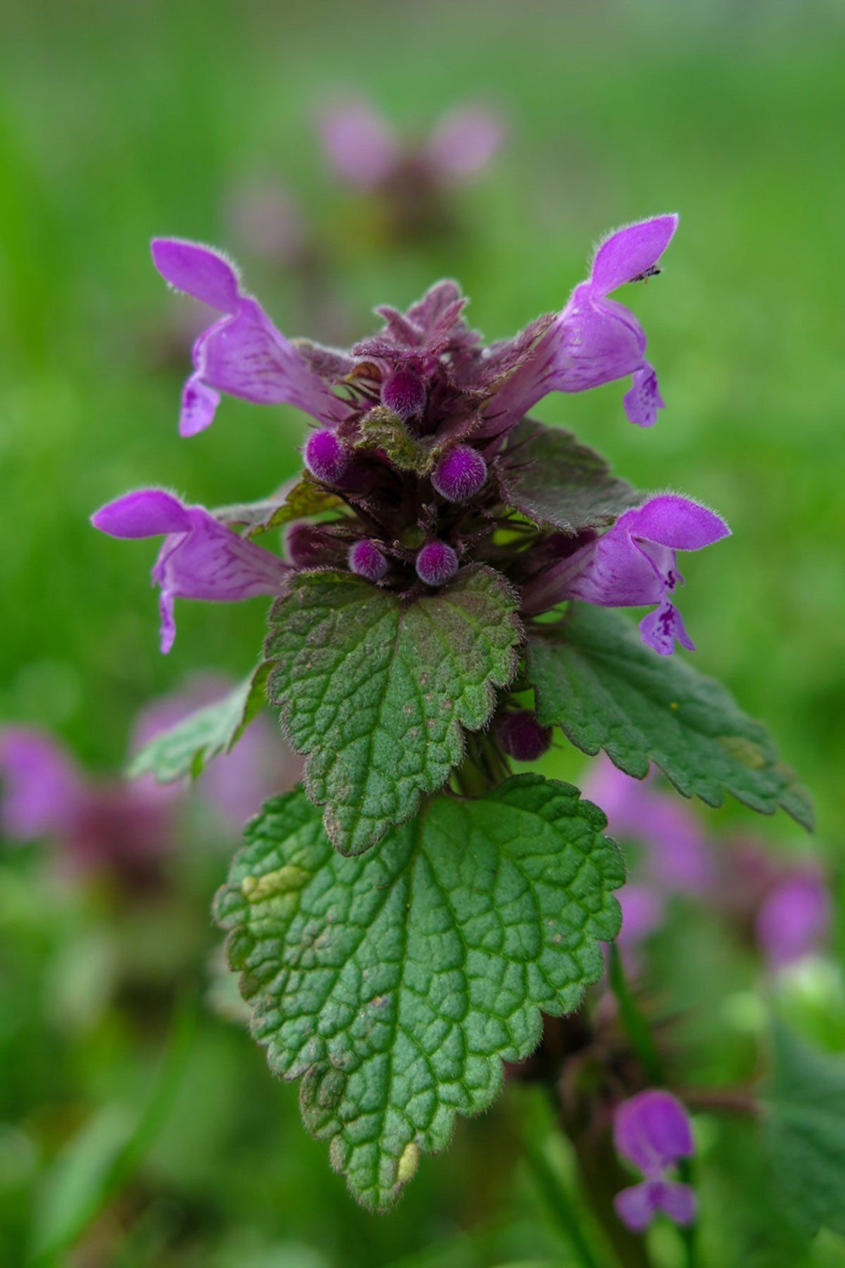 Purple Dead Nettle Nutrition and Recipes Herbal Academy