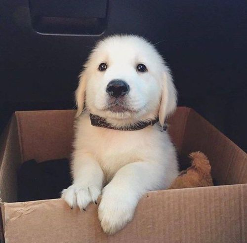Babyanimalgifs Pup In A Box Golden Retriever Dogs Funny Dogs