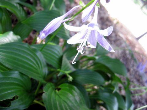 Hosta flower from a neighbor's garden in St. Paul, Minnesota. By Deb Olander. Debolander@gmail.com.