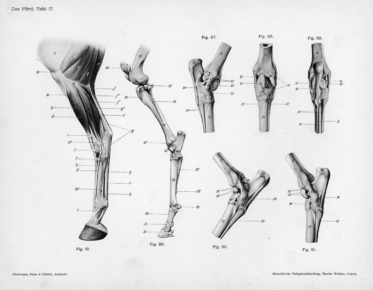 Rear Leg | Nonhuman\'s anatomy | Pinterest | Legs, Anatomy and Horse
