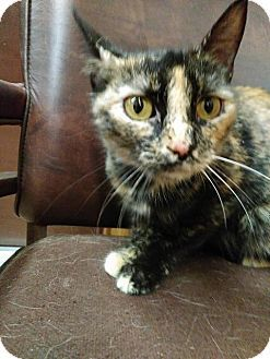American Shorthair Cat Adoption