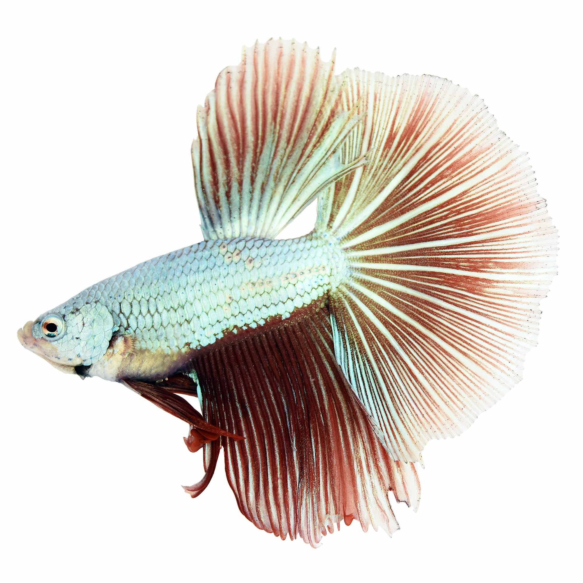 Male Dragonscale Betta Petco Betta Betta Fish Pet Fish